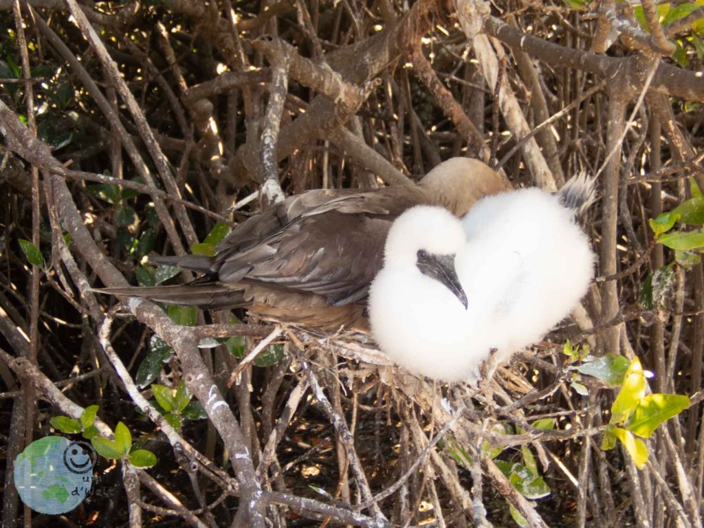 baby_red_footed_booby