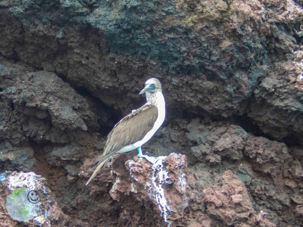 blue_footed_booby