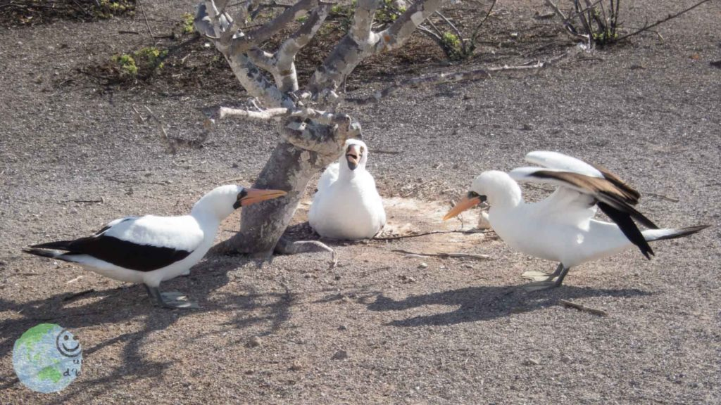 bird_fight_galapagos
