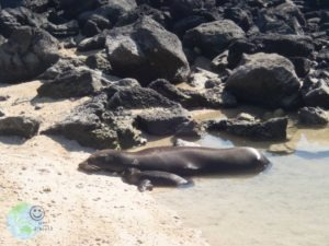 sealion_mommy_young