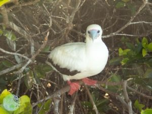 red_footed_booby