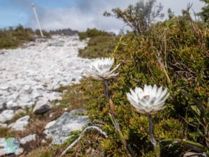 cradle_mountain_flower