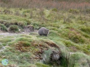 wombat_cradle_mountain_2